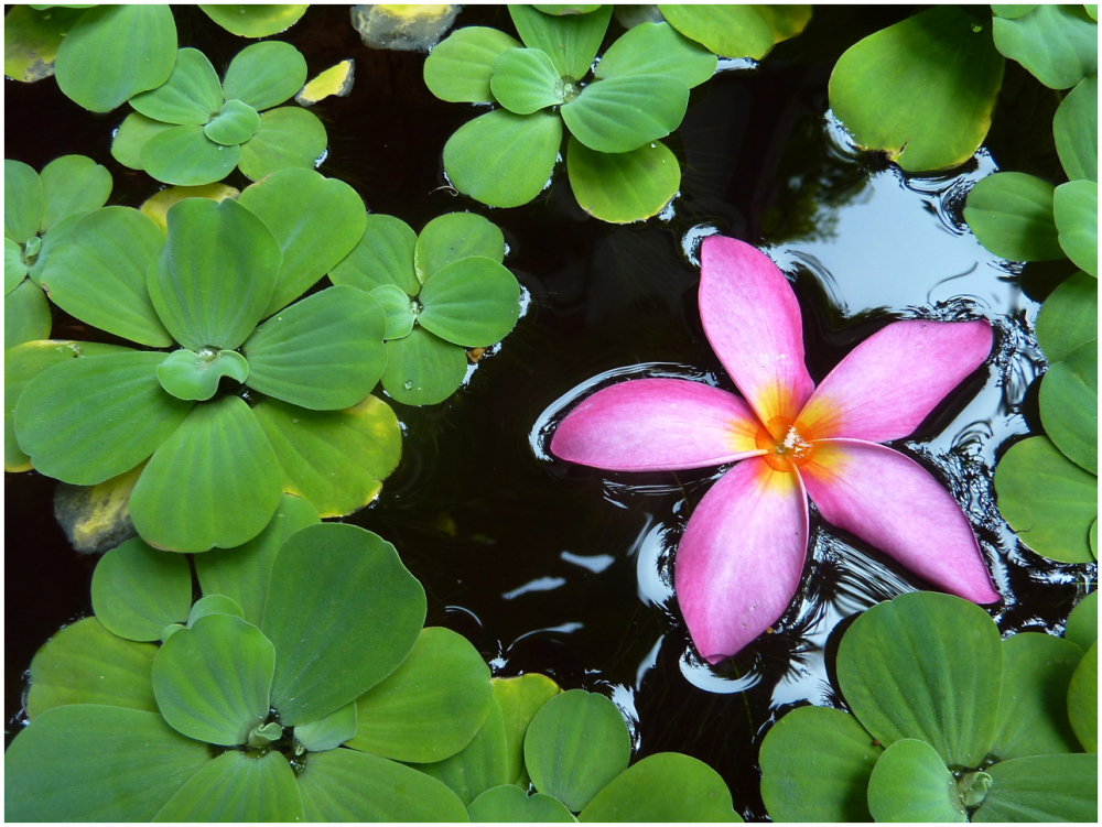 Frangipani in a Lotus Pond