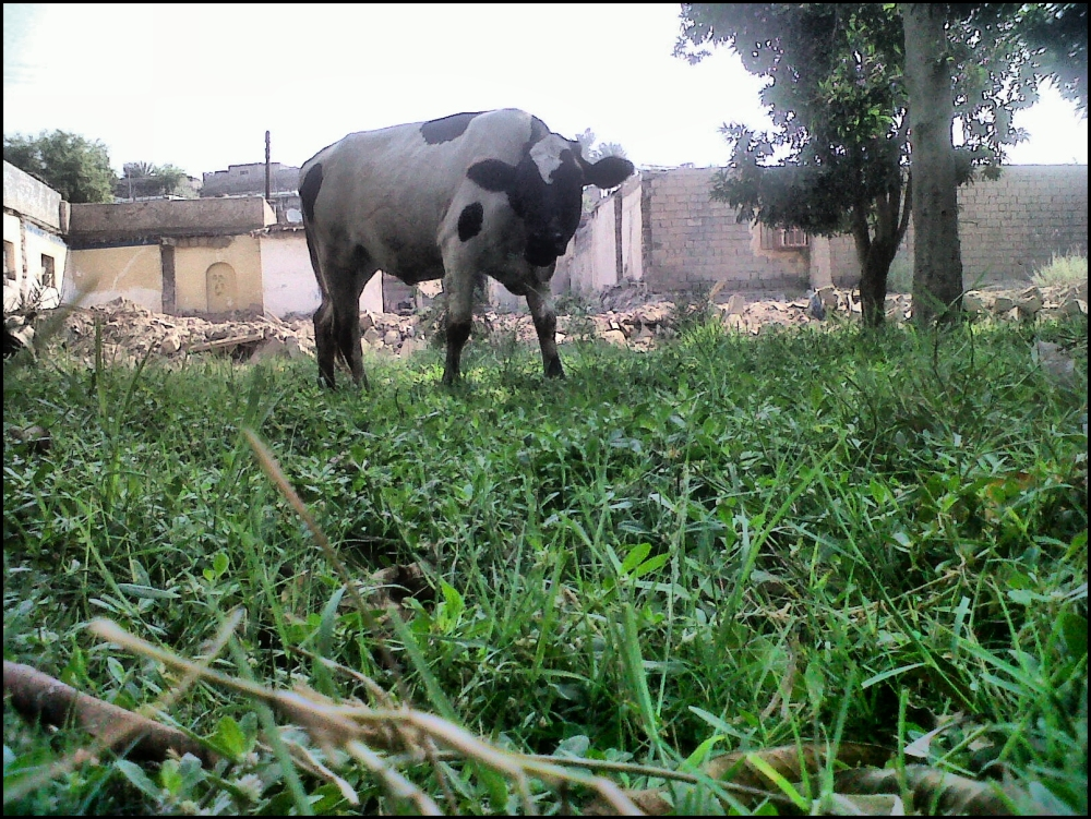 cow in the grass