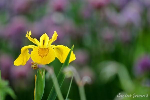 Une fleur royale