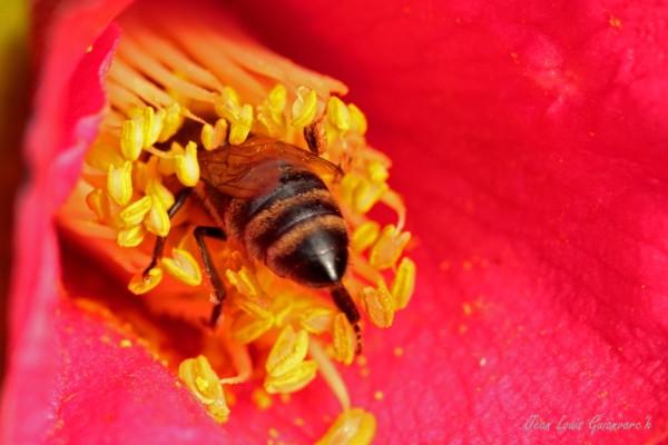 L'abeille au camélia. / The bee camellia