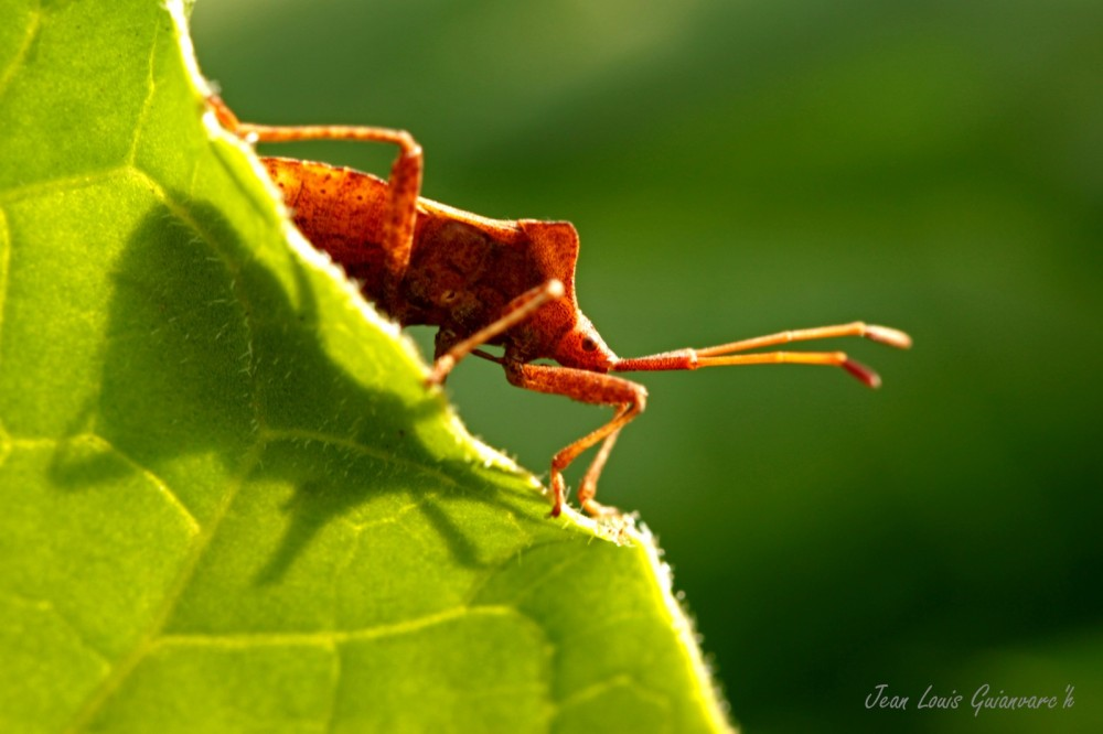 Corée marginée. / Brown Bug.