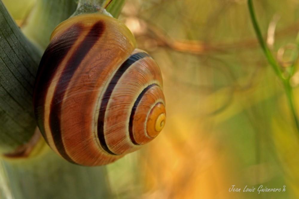 Escargot des jardins. / Snail gardens