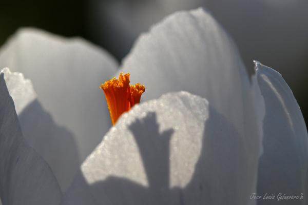 Crocus printanier. / Spring Crocus.
