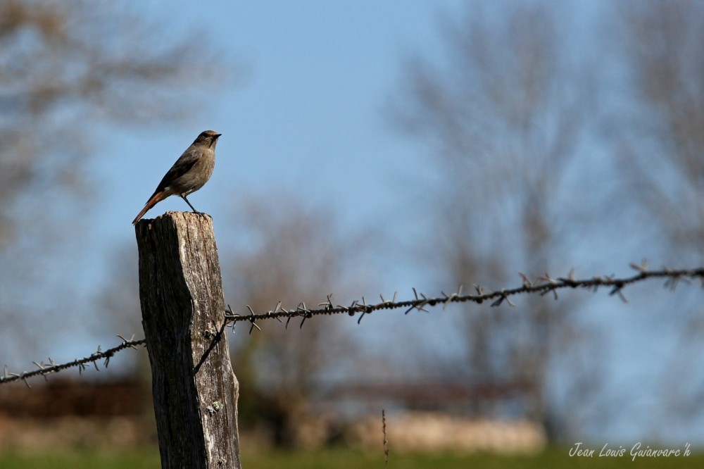 Rougequeue noir. / Black Redstart.