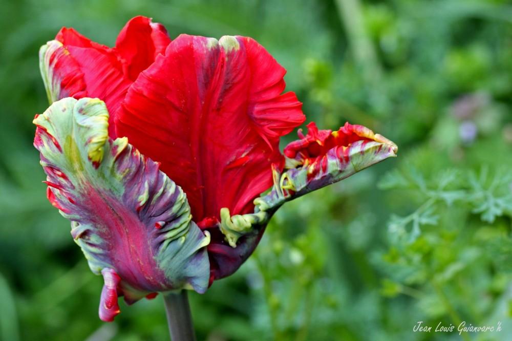 Tulipe perroquet. / Parrot Tulip.