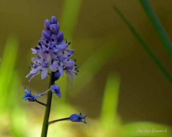 Fleur bleue. / Blue flower.