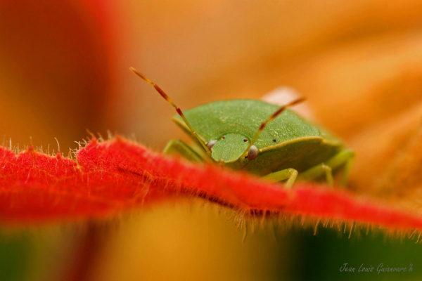 Punaise verte. / Green stink bug.