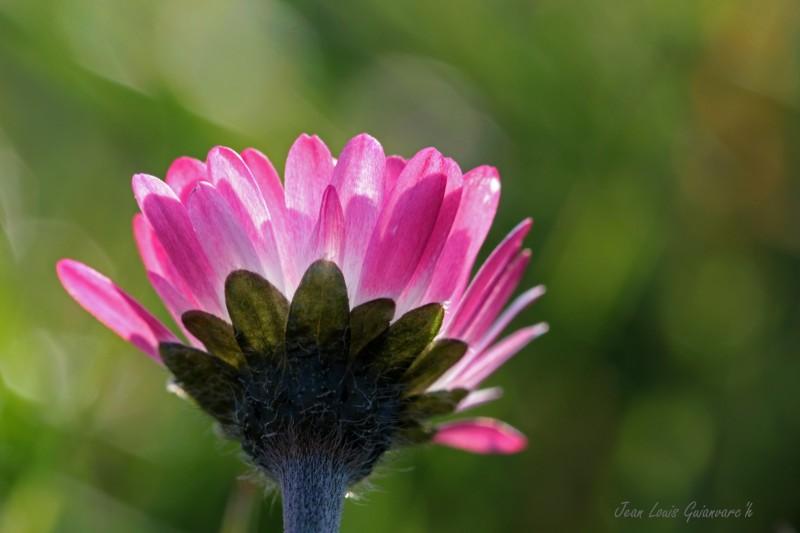 La pâquerette. / The daisy.