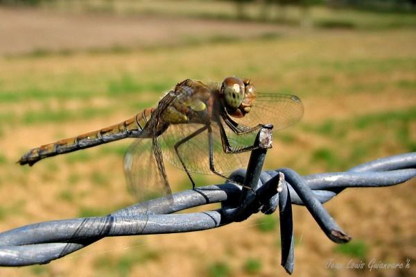 La libelulle. / The dragonfly.