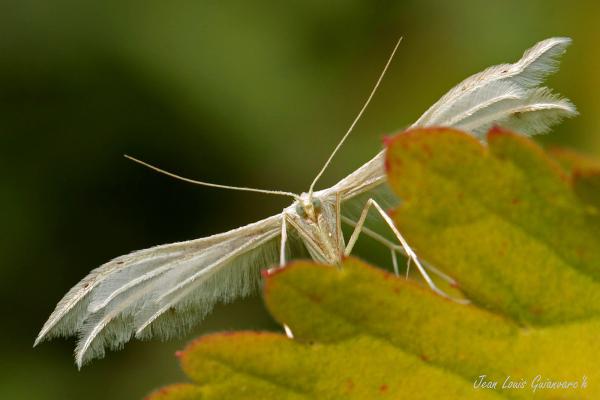 Petit ange de nuit. / White plume moth.