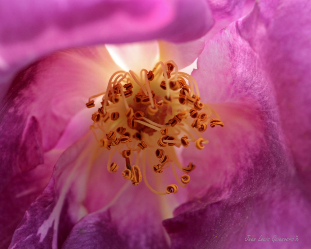 Au cœur de la rose. / At the heart of the rose.