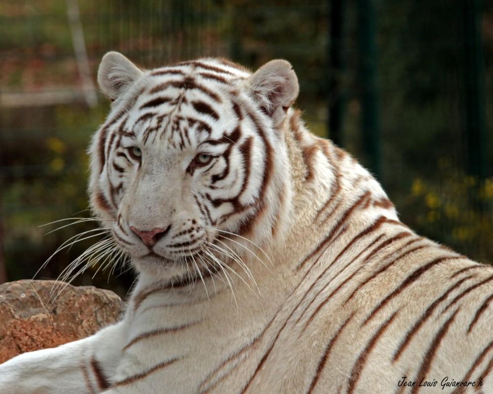 Le tigre blanc. /  The white tiger.