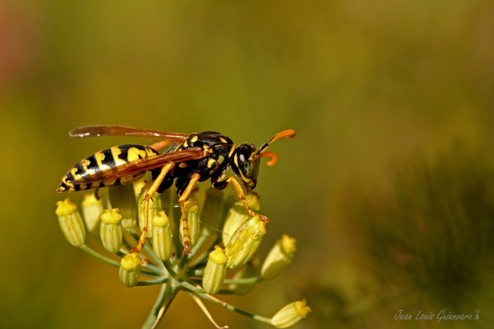 Poliste aux yeux verts. / Wasp with green eyes.