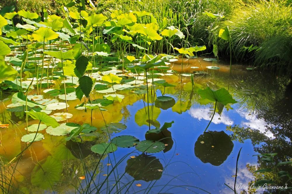 Feuilles de Lotus. / Lotus leaves.
