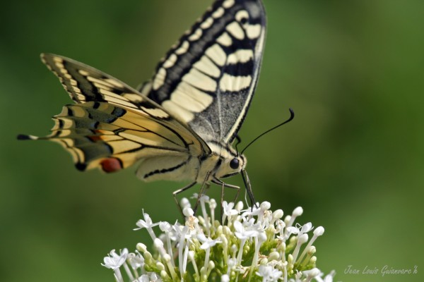Machaon. / Swallowtail Butterfly.