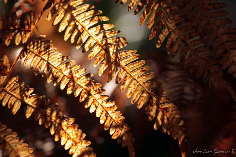 L'automne des fougères. / Autumn ferns.