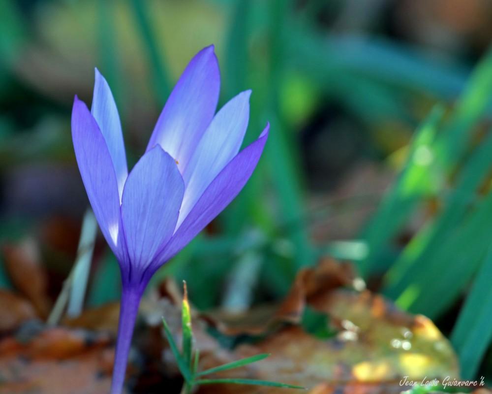 Crocus à fleur nue. / Crocus flower bare.