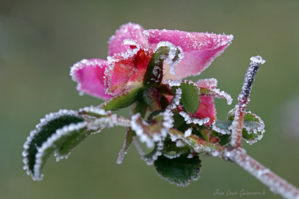 Une rose en hiver. / A rose in winter.