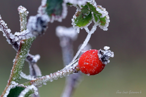 Fruit givré. / Fruit frosted.