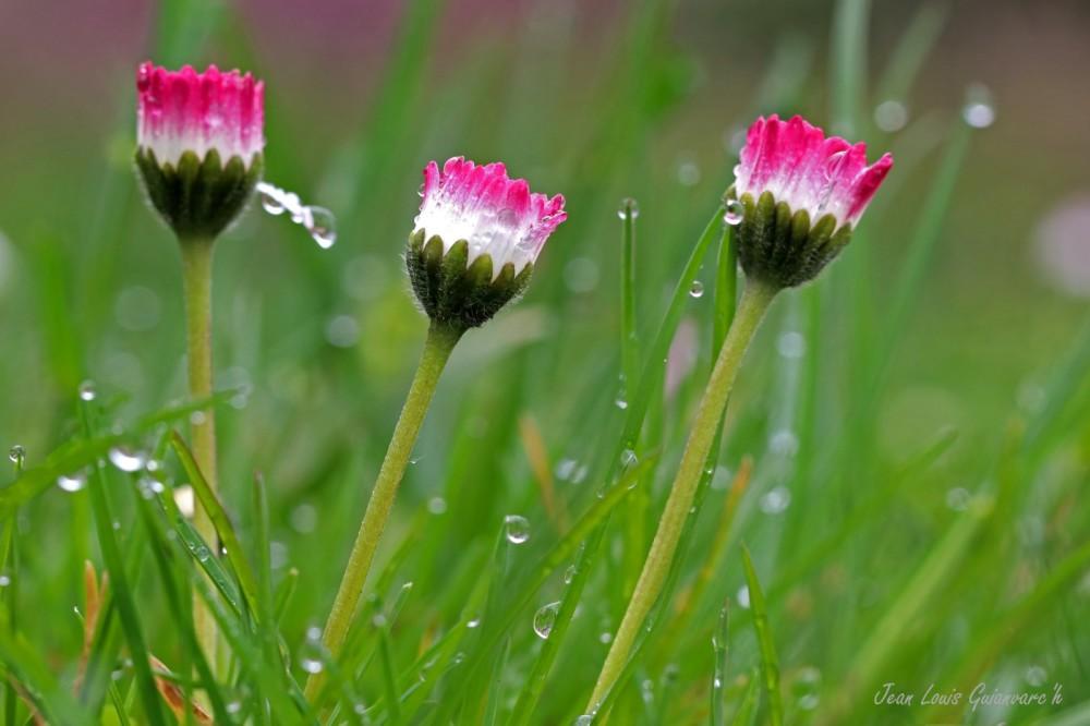 Les trois pâquerettes. / The three daisies.