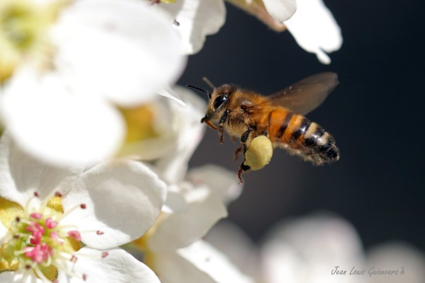 L'abeille sauvage. / The wild bee.