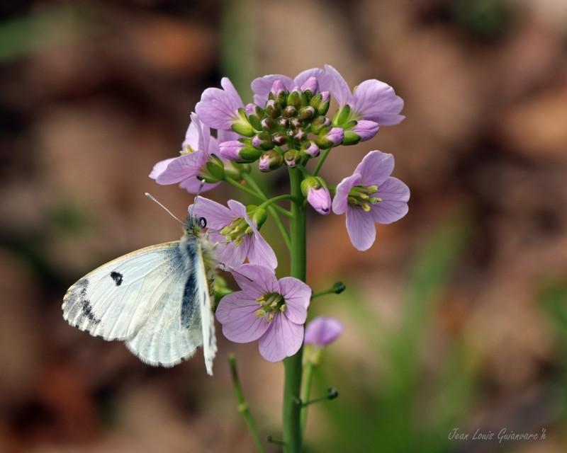 Le papillon aurore. / The Aurora Butterfly.