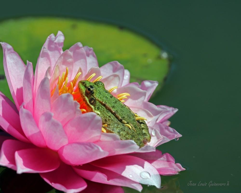La grenouille et la fleur de nénuphar.