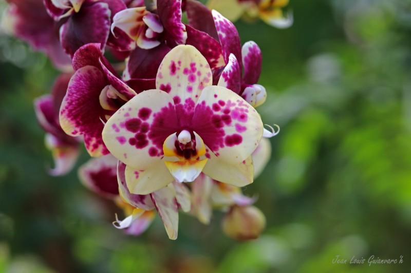 L'orchidée.