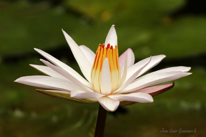 Fleur de lotus blanc.