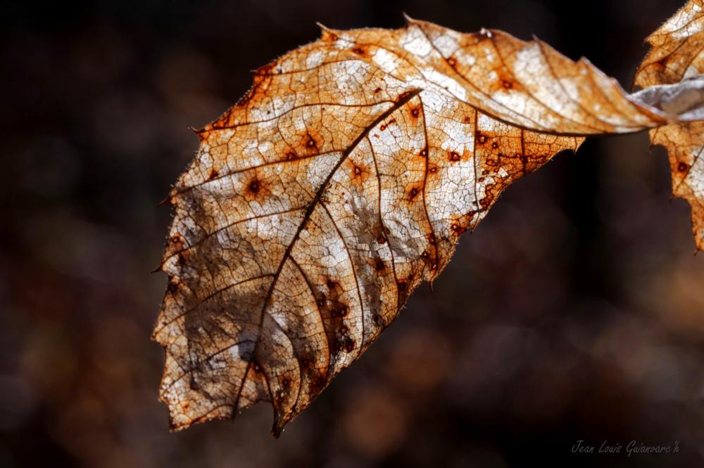 Une feuille en hiver