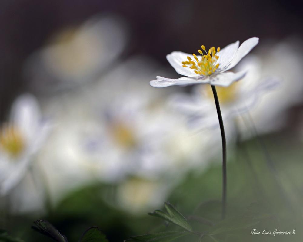 Une fleur de printemps (3)