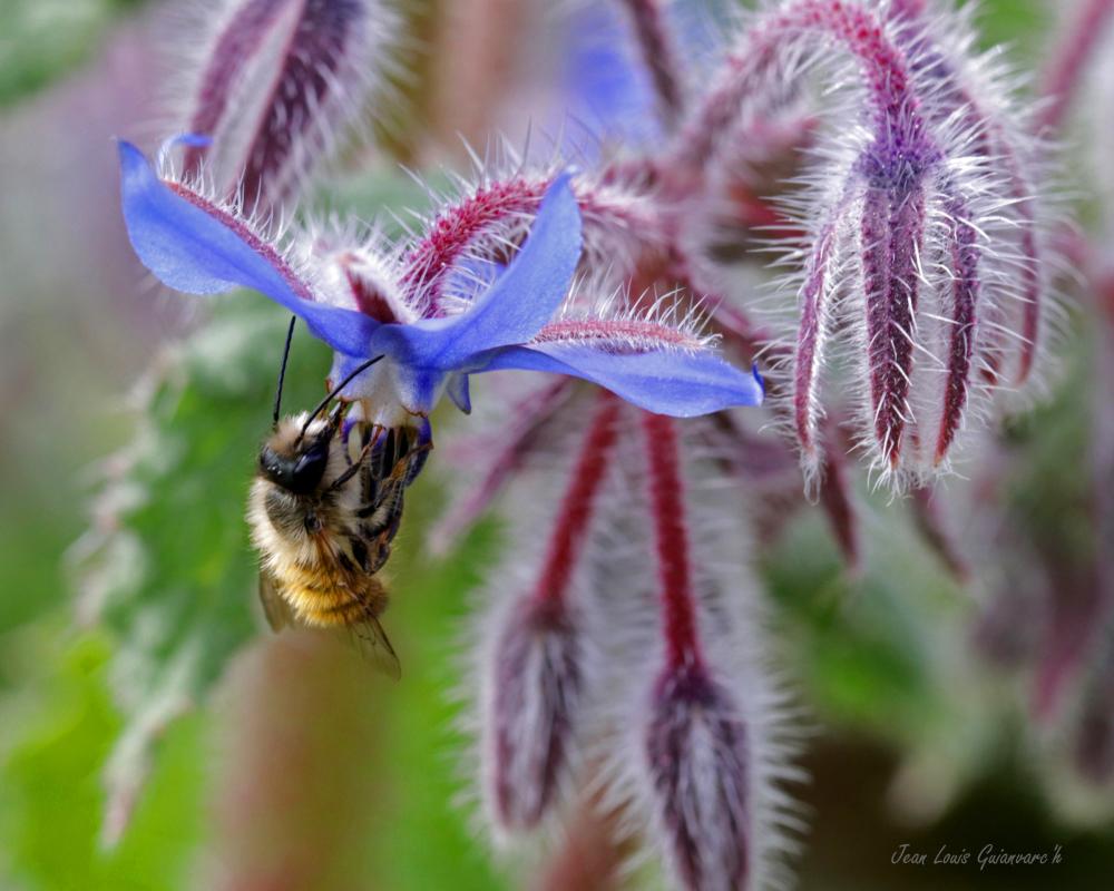 L'abeille et la bourrache