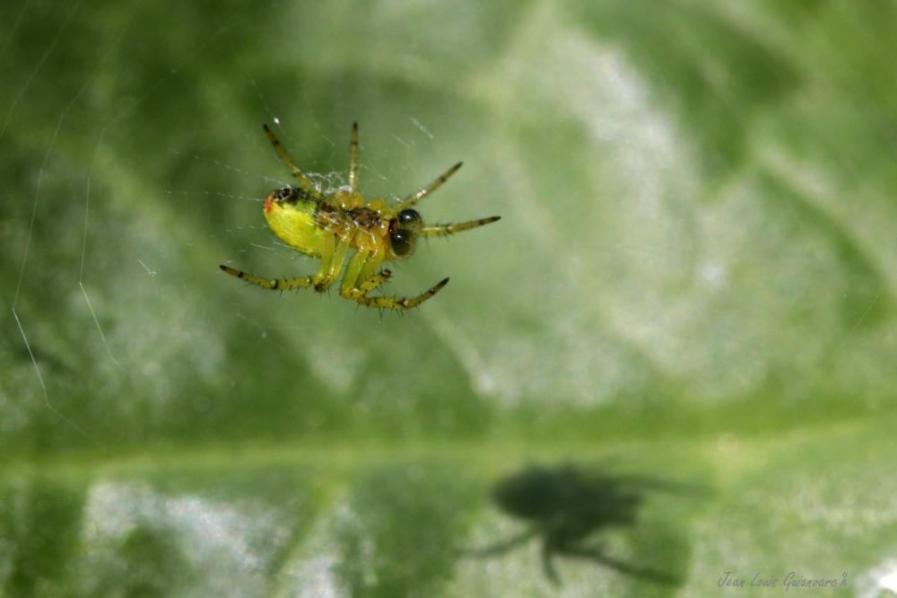 Araignée courge