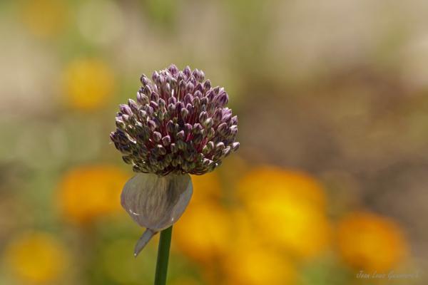 Fleur d'ail sauvage