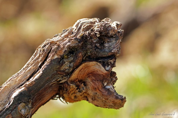 Vieux cep de vigne