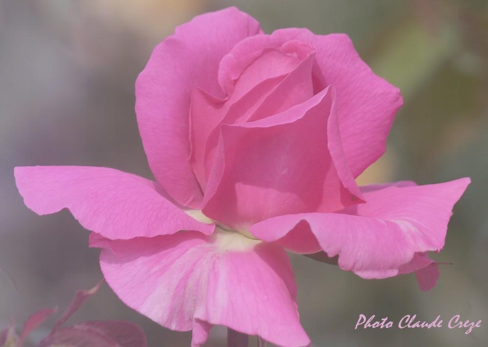 Une rose pour l'amour