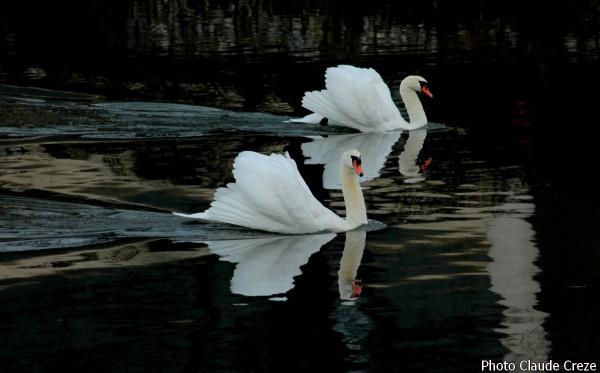 Deux cygnes qui glissent sur l'eau