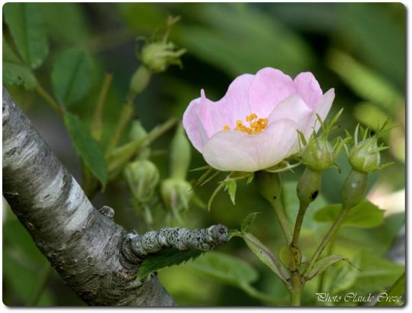 Une fleur d 'églantier ( merci Yo)
