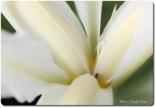 Le petit insecte et l'iris
