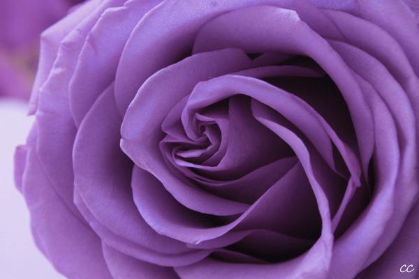 Rose lilas