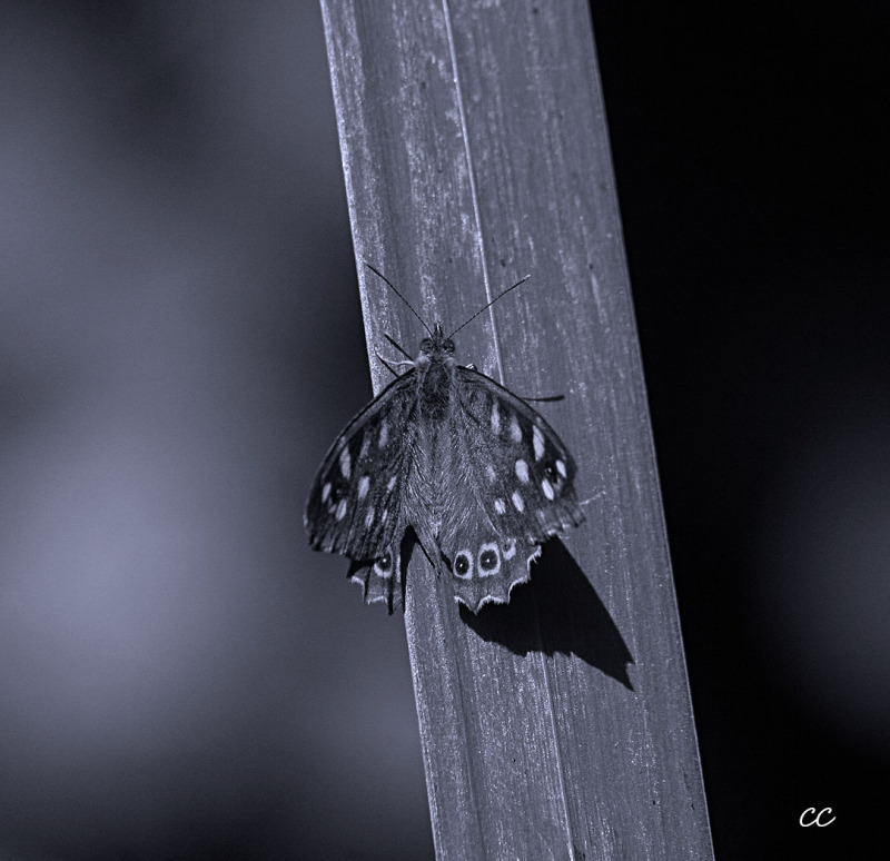 Papillon sur une très longue feuille