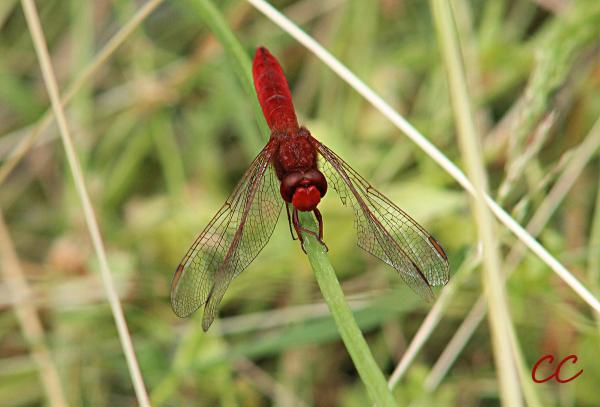 Le Sympetrum Sanguineum mâle