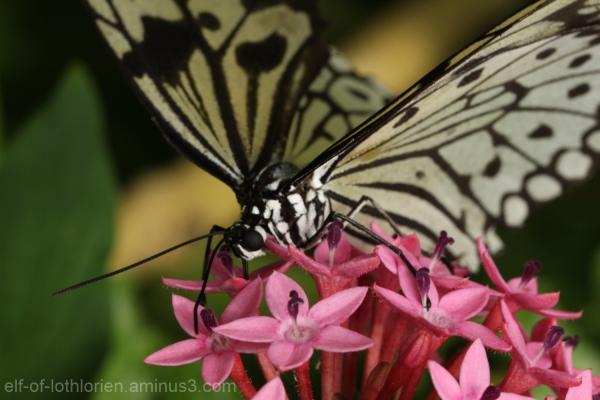 Butterfly slurping