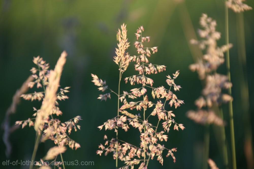 Grass in the evening sun