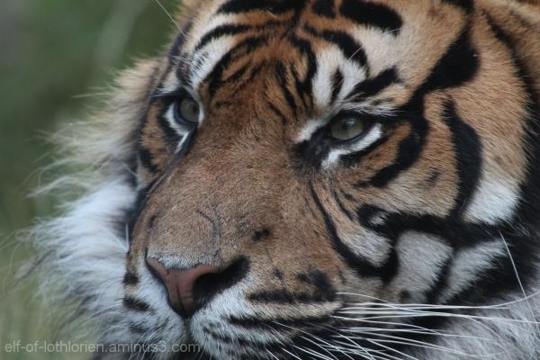 Tiger (II)