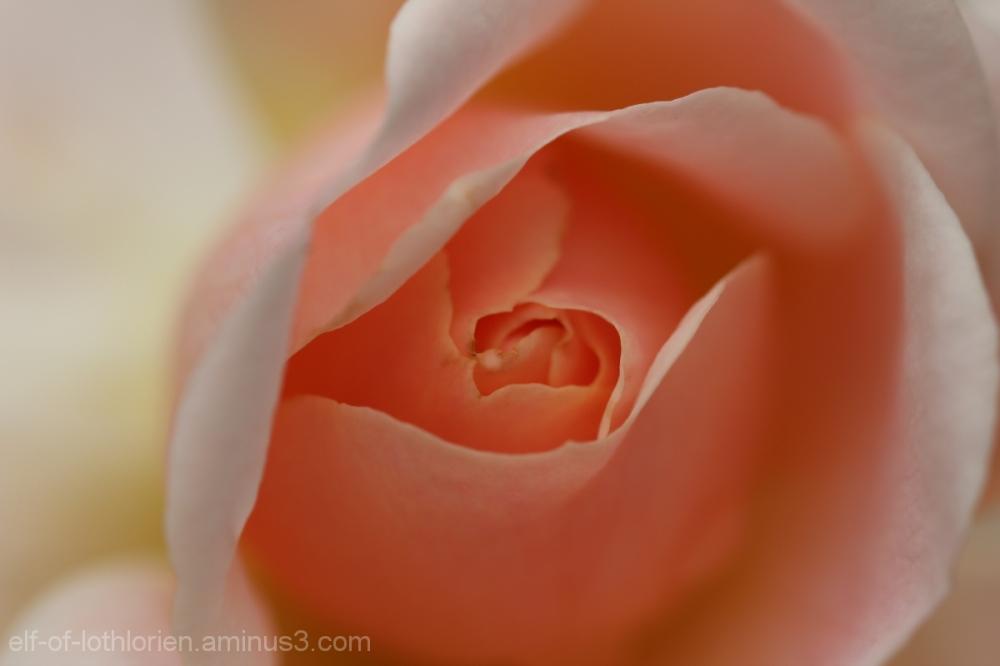Rose (II)