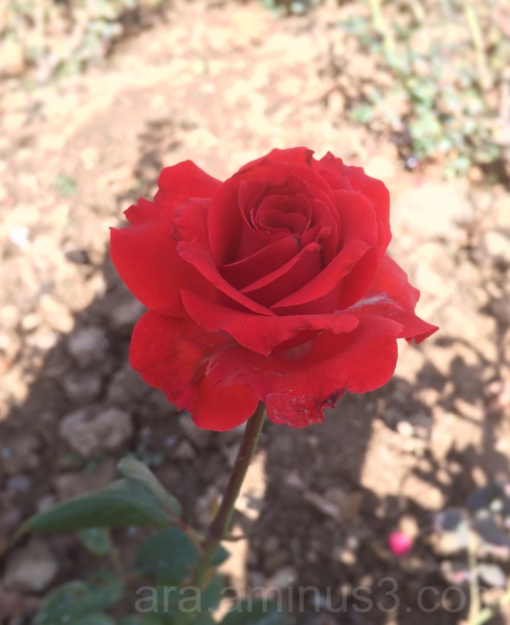 nice red rose