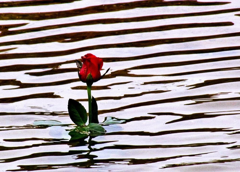 La rosa que no volia morir