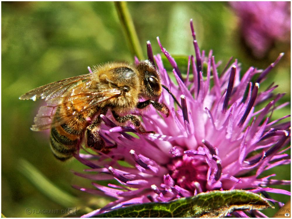 Abeille - Honeybee