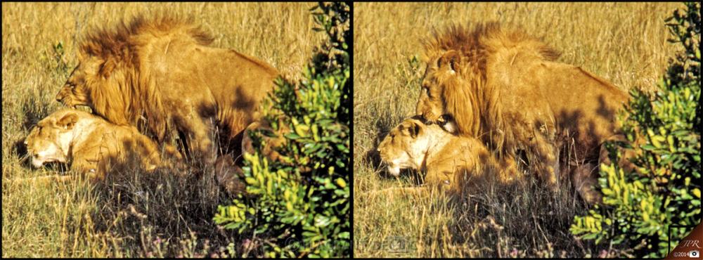 Couple de lions - Couple of lions